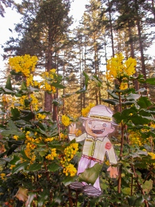 Flat Stanley Oregon Grape