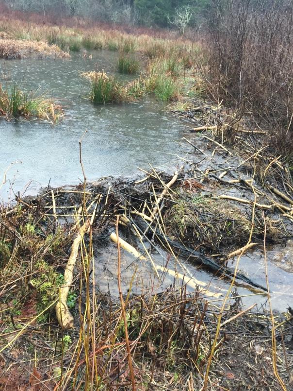 Beaver dam by wildlife blind