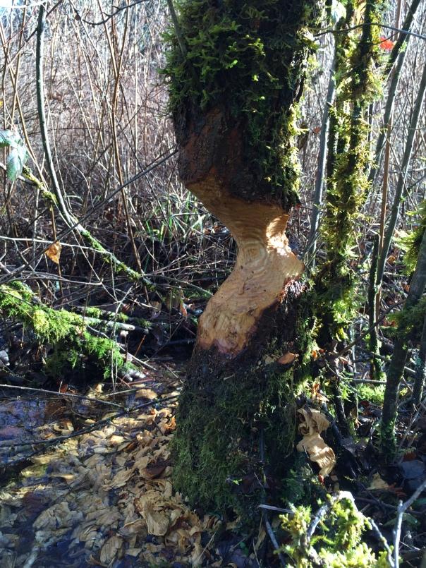 Beaver Logging